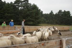 Ein guter Herdenhund zeigt, wie ruhig und umsichtig er die Schafe führen kann